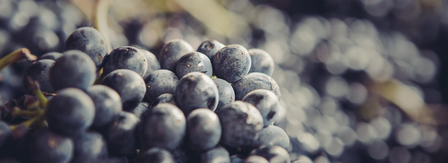 Brave & Maiden Wine grapes