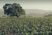 Vineyard (print)
