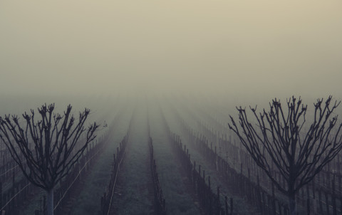 Foggy-Vineyard