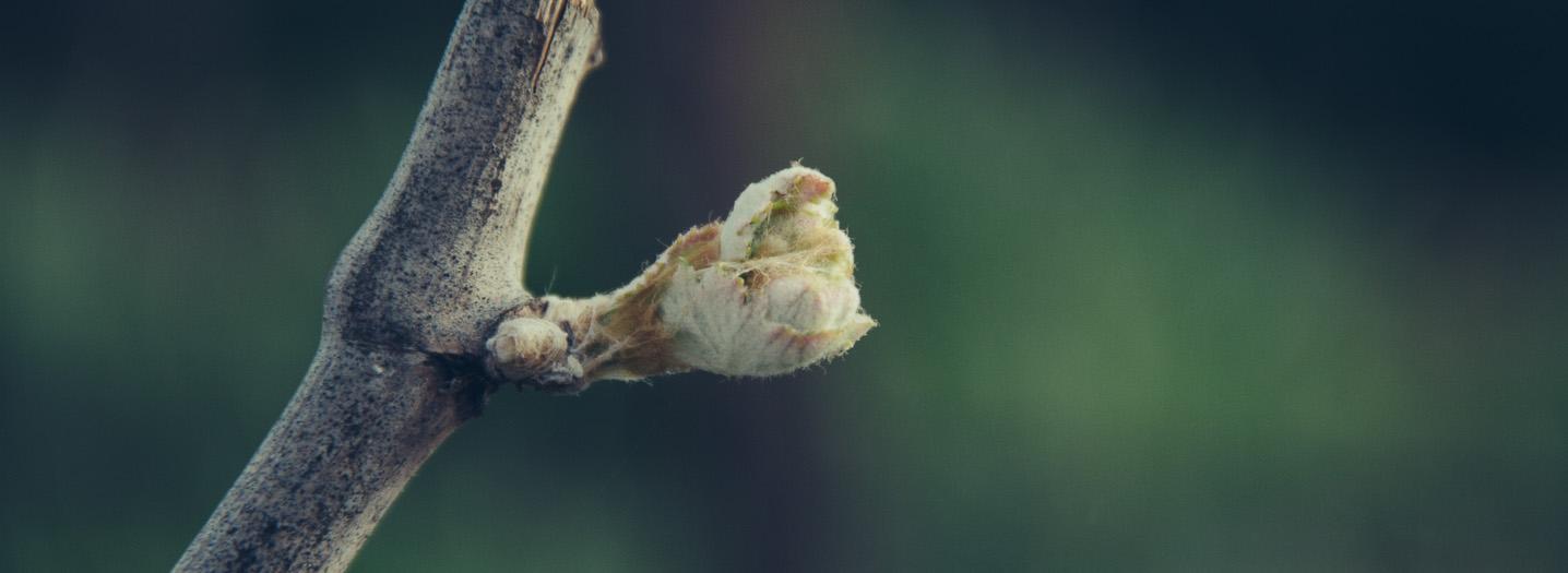 a single bud break