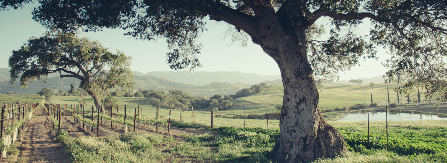 A view of the Santa Ynez Mountains between two oak trees.